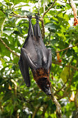 istock Cute flying fox hanging on the tree 1192673741