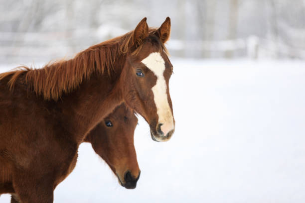 Cute foals on the snowy meadow stock photo