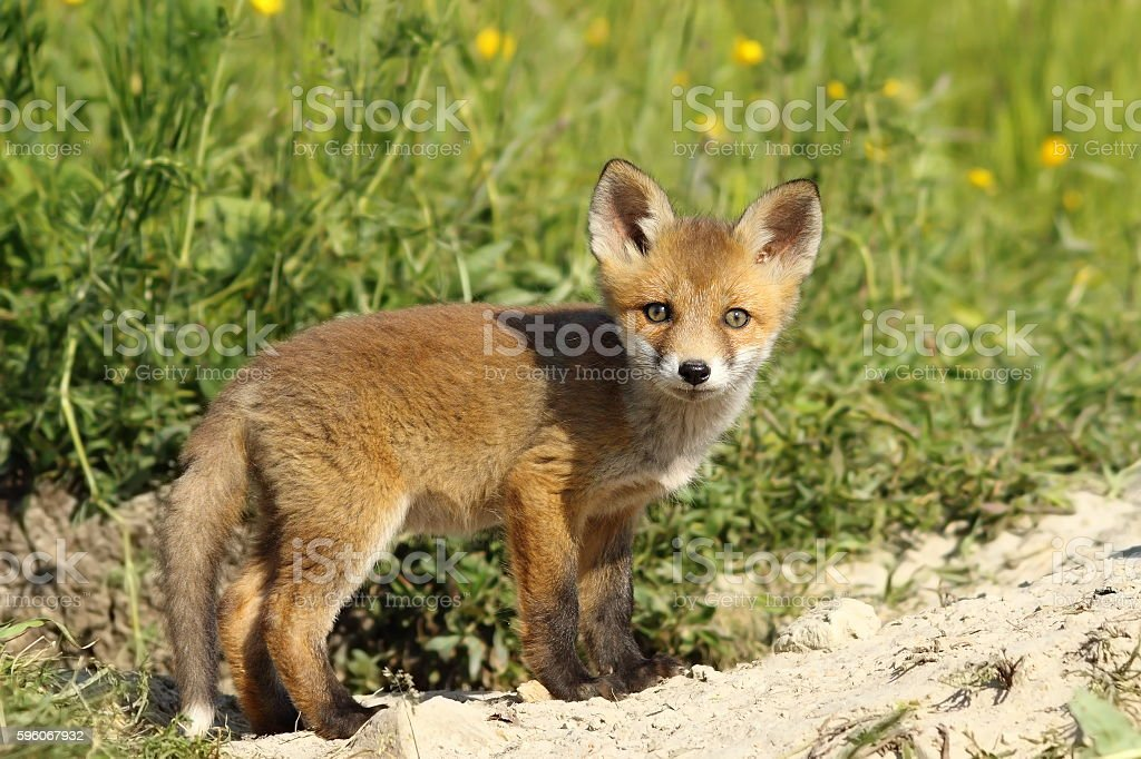 cute fox cub looking at camera royalty-free stock photo