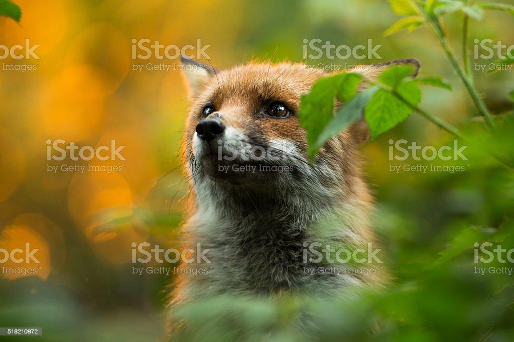 Linda fox - foto de acervo
