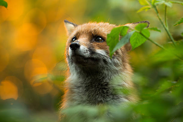 cute fox - fox stock photos and pictures