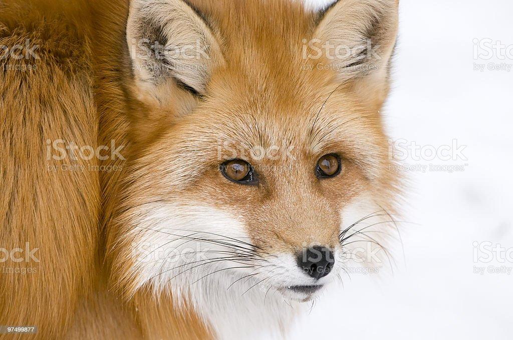 Cute Fox royalty-free stock photo