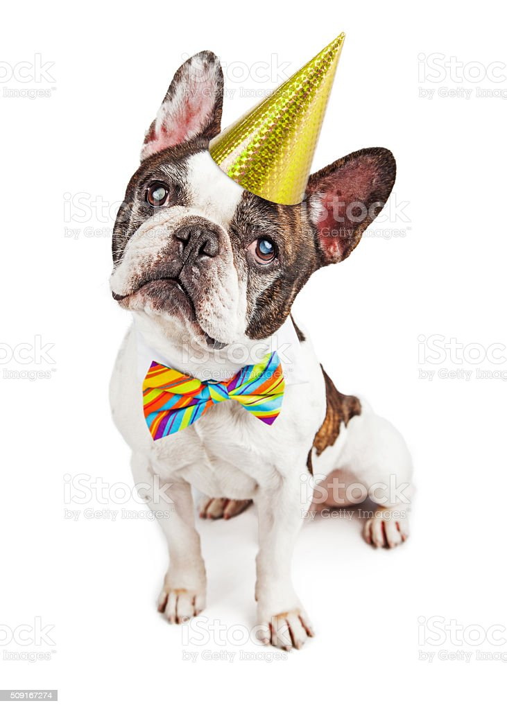 Cute French Bulldog Dressed For Birthday stock photo