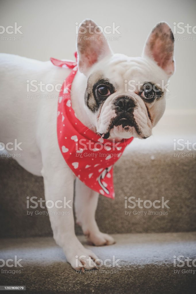 Cute French Bulldog Dressed Up For Valentines Day Standing On Stairs Stock Photo Download Image Now Istock