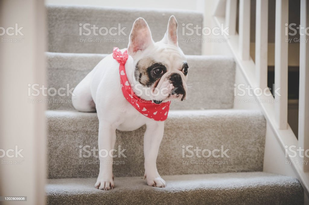 Cute French Bulldog Dressed Up For Valentines Day Standing On Stairs With Back Legs Folded Up Stock Photo Download Image Now Istock
