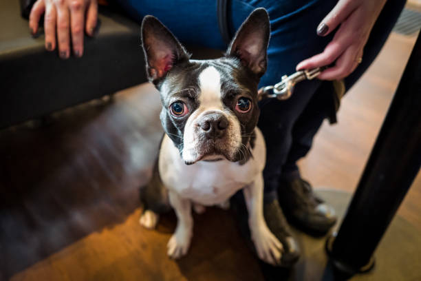 Cute french bulldog in a cafe stock photo