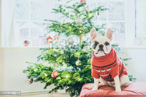 Frenchie dog in Christmas sweater