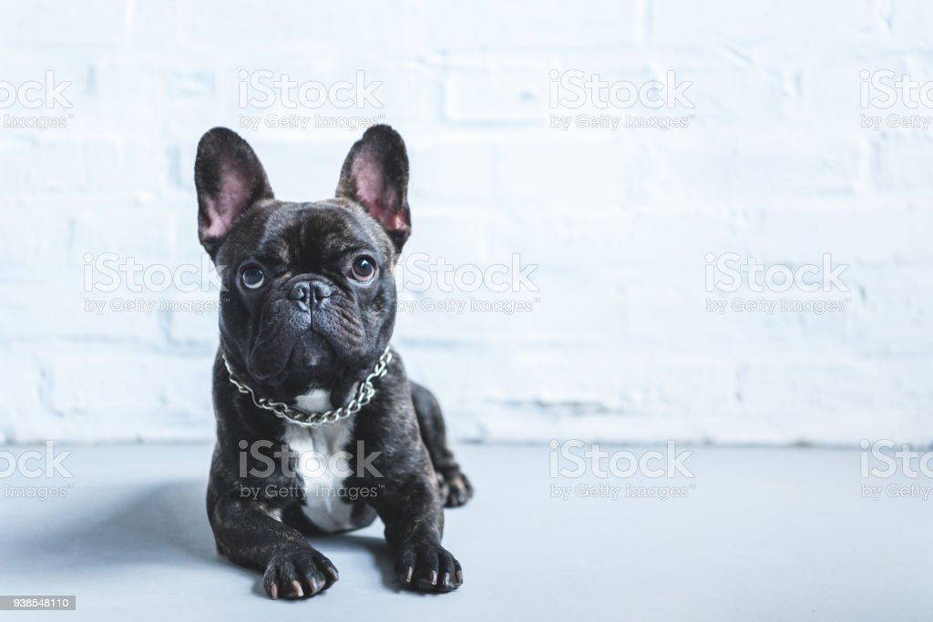 Cute French bulldog lying on floor and looking up stock photo