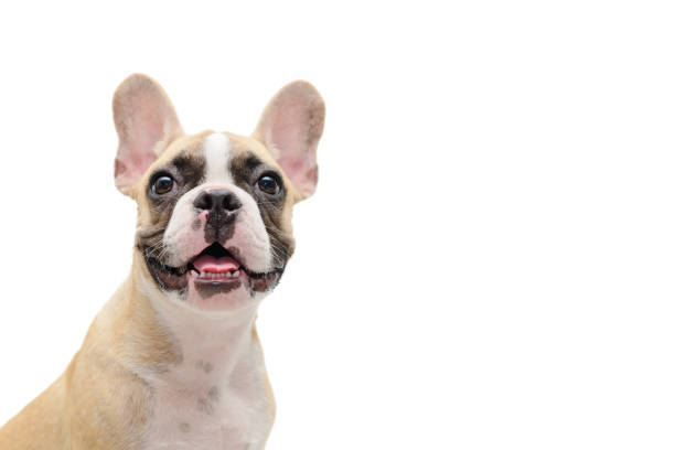Cute french bulldog puppy looking isolated stock photo