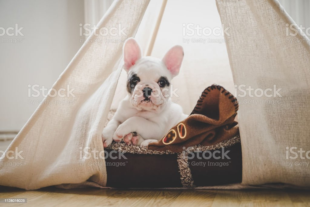Cute French Bulldog puppy lying in bed inside a teepee tent, England - Royalty-free Animal Stock Photo