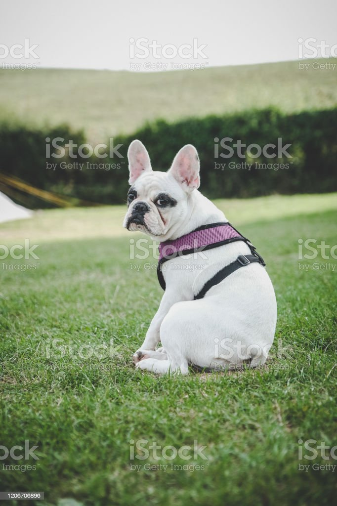 Cute French Bulldog Puppy Sitting At A Campsite In Dorset England Stock Photo Download Image Now Istock