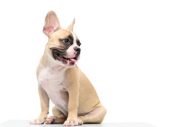 cute french bulldog sitting on table isolated stock photo