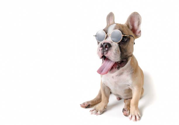 Cute french bulldog wear sunglass isolated stock photo
