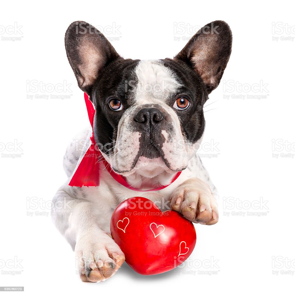 Cute french bulldog with a red heart stock photo