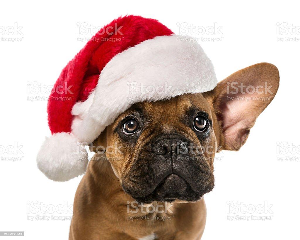Cute french bulldog with santa hat stock photo