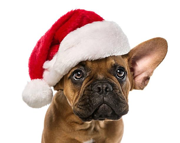 cute french bulldog with santa hat - accesorio de cabeza fotografías e imágenes de stock