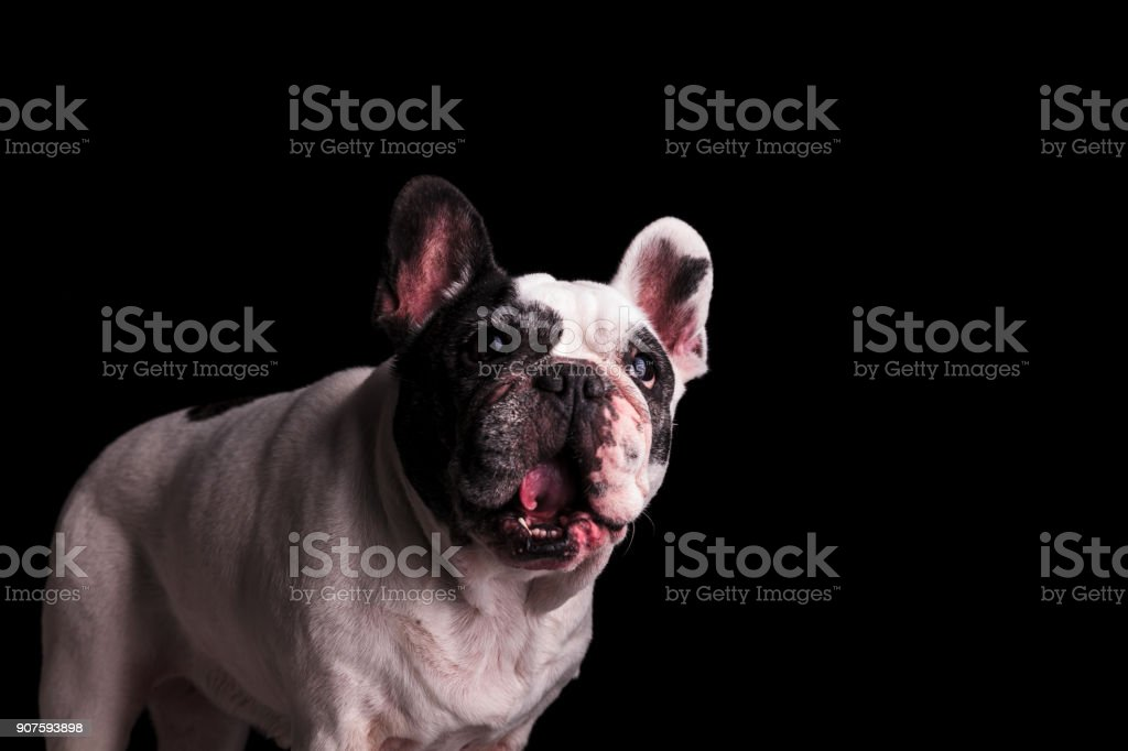 cute french bulldog with the wow amazed look stock photo
