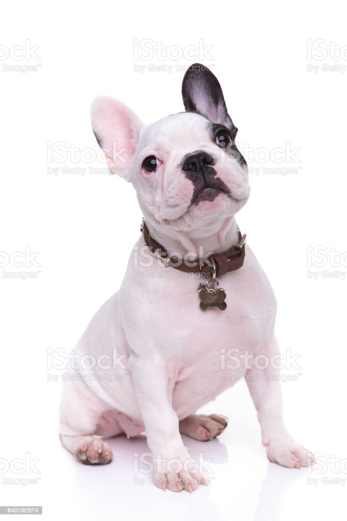 cute french bulldor puppy dog is sitting stock photo