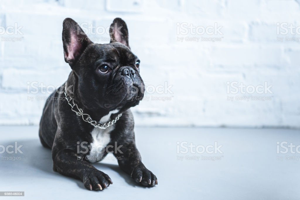 Cute Frenchie dog lying on floor and looking up stock photo