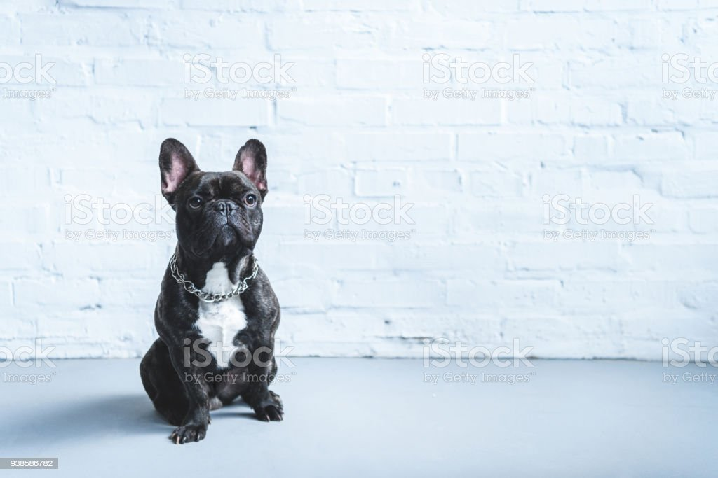 Cute Frenchie dog sitting on the floor stock photo