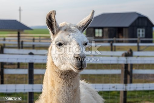 Cute friendly alpaca on an alpaca farm. Closeup of an alpaca face