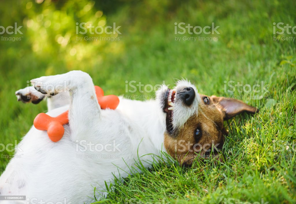 Cute Funny And Happy Dog Lying On Back At Green Grass Lawn With Toy In Paws Stock Photo Download Image Now Istock