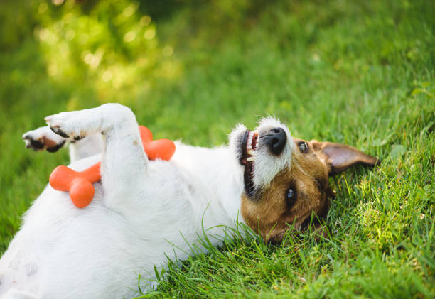 Cute, funny and happy dog lying on back at green grass lawn with toy in paws Jack Russell Terrier wallowing on grass playing lying on back stock pictures, royalty-free photos & images