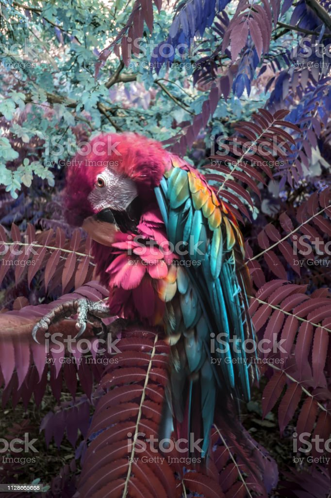 Красавчик ара