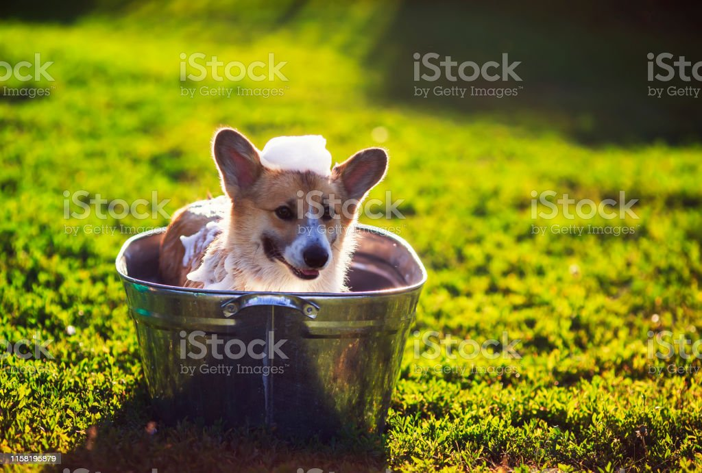Cute Funny Dog Puppy Corgi Washes In A Metal Bath And Cools Outside In Summer On A Sunny Hot Day And Smiles Happily Stock Photo Download Image Now Istock
