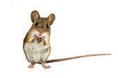 Cute Funny Field Mouse on white background