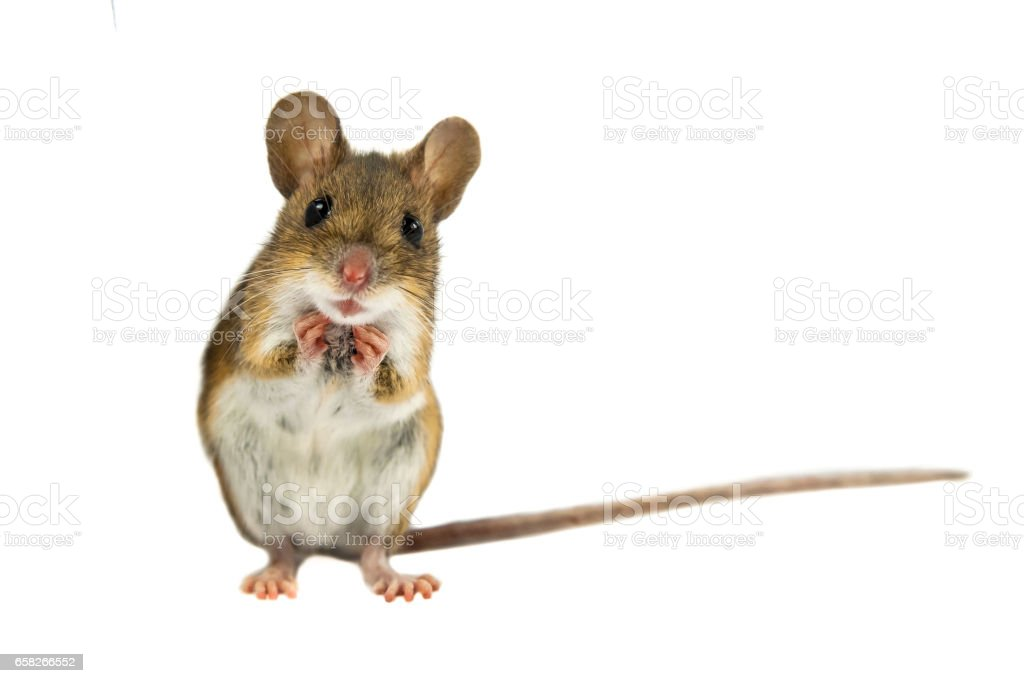 Cute Funny Field Mouse on white background stock photo