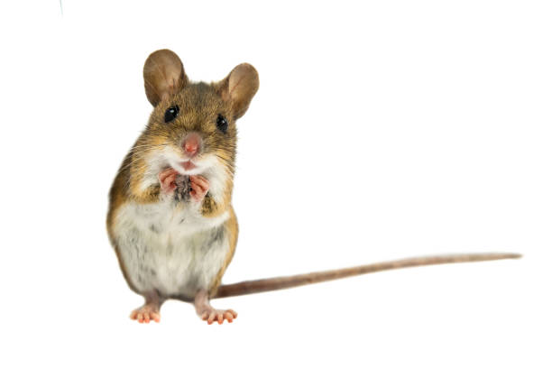 cute funny field mouse on white background - maus stock-fotos und bilder
