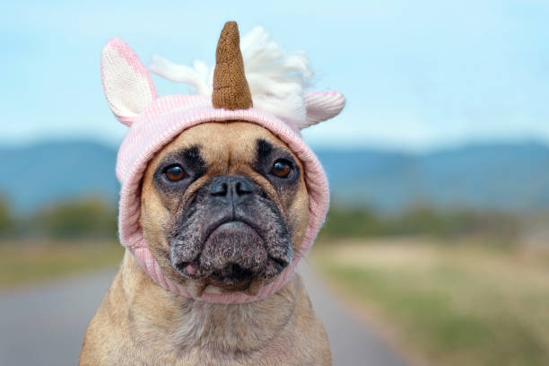 Cute funny French Bulldog dog dressed up with Halloween costume in shape of pink knitted  unicorn hat funny dog costume pet clothing stock pictures, royalty-free photos & images