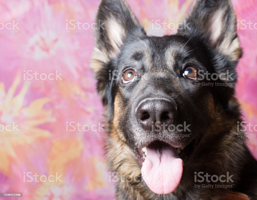 Cute Funny German Shepherd Looking Up With An Open Mouth As If In