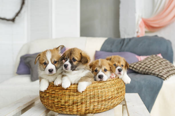 Cute funny puppy dogs in wicker basket at home Cute funny puppy dogs in wicker basket at home. cub stock pictures, royalty-free photos & images
