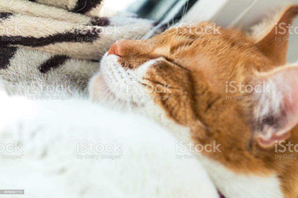 Cute funny red-white cat on the windowsill, close up. royalty-free stock photo