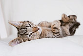 Cute funny sleeping little kitten. Young European Shorthair cat lying on white background. Space for text. Mackerel tabby coat color.
