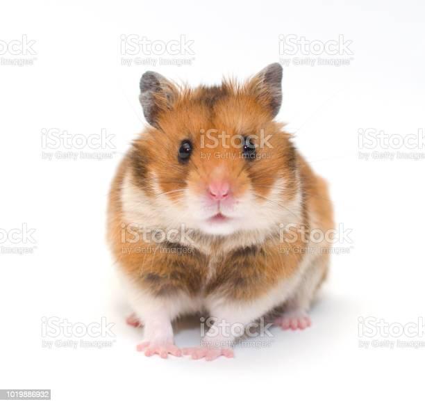 Cute funny syrian hamster picture id1019886932?b=1&k=6&m=1019886932&s=612x612&h=ptelaaactlvpokbihjcwq rqtkjsedbz9qgoxmyq om=