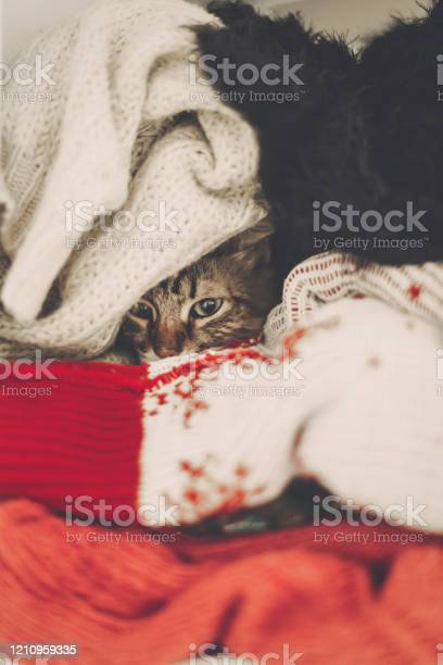 Cute funny tabby cat hiding in sweaters space for text kitty maine picture id1210959335?b=1&k=6&m=1210959335&s=612x612&h=tx9rzqm5mv0oa52gpqkywwgixkkglhjgrkxx 6wgsa0=