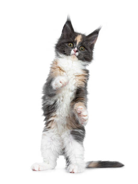 Cute funny tortie bicolor maine coon cat kitten standing playing on picture id1132001709?b=1&k=6&m=1132001709&s=612x612&w=0&h=cl1102jbzadt3lo6 vqky wsecqqetf3y4fngqpbgyu=