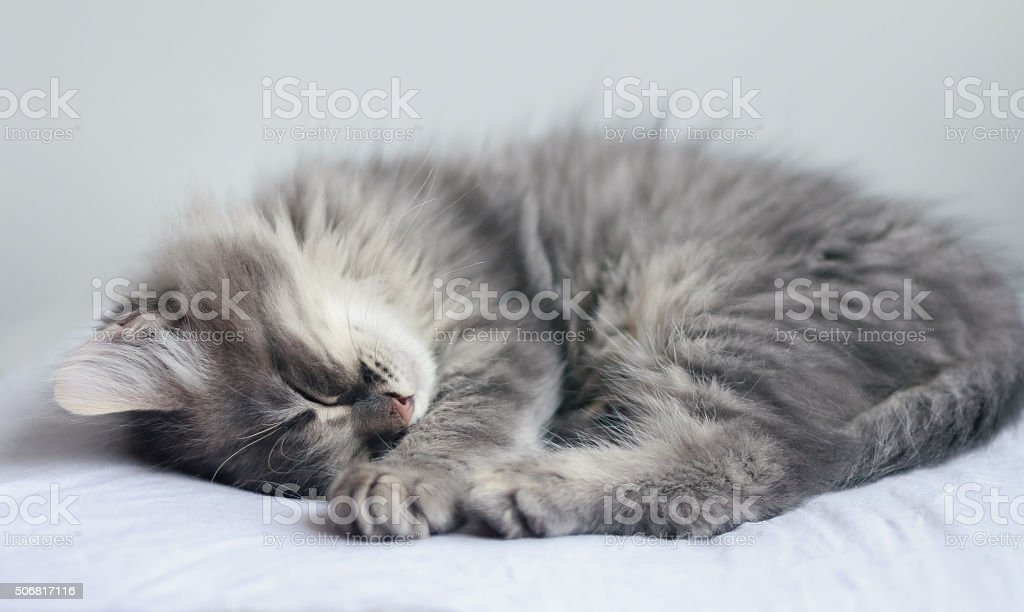 Cute furry gray kitten sleeps on a pillow stock photo