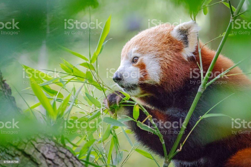 Niedliche, pelzige, roter Panda Essen frischen Bambus Blätter sitzen auf einem Baum - Lizenzfrei Asien Stock-Foto
