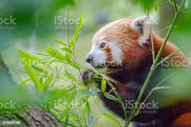 Cute furry red panda eating fresh bamboo leafs sitting in a tree picture id975845798?b=1&k=6&m=975845798&s=612x612&h=cdelg5qlrjmwmi4nl5t8sxttff2bqkqiv y75tihusy=