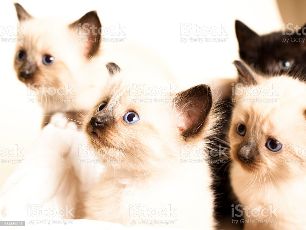 Cute Furry Siamese Kittens In A Basket Blue Eyes stock photo