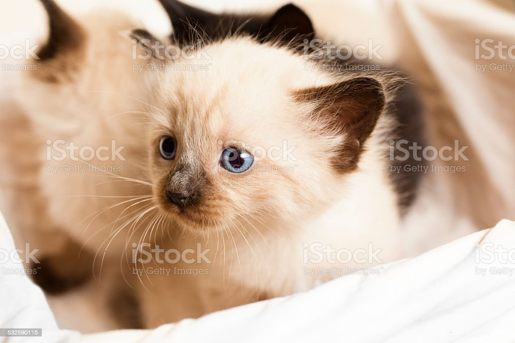 Cute, furry Siamese kittens in a basket. Blue eyes. stock photo