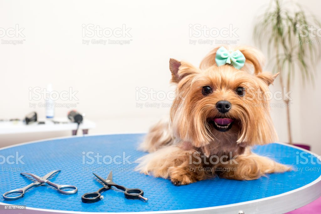 cute furry yorkshire terrier dog lying on table in pet salon stock photo