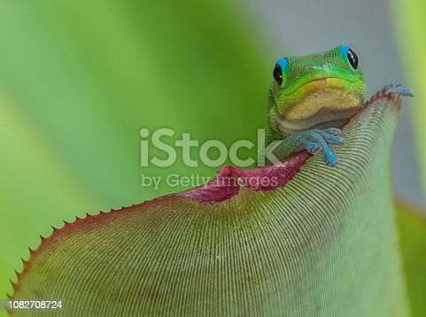 A green gecko with red stripes poses on a bromeliad leaf, showing both of his front feet in detail. From photographer's garden on Maui.
