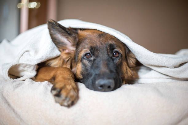 Cute German Shepherd in a blanket on bed. stock photo