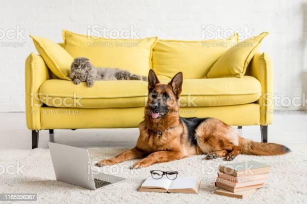 Cute german shepherd lying on floor with laptop and books in and grey picture id1165336367?b=1&k=6&m=1165336367&s=612x612&h= mujjs0yen2j41dbkcsdoiylnbjlpmeiddohdsfriqq=