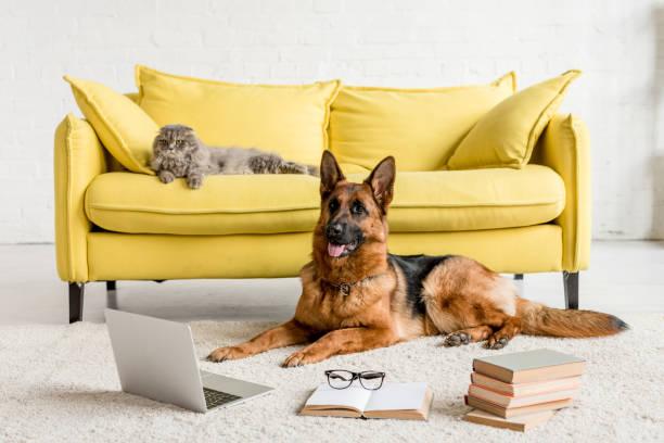 Cute german shepherd lying on floor with laptop and books in and grey picture id1165336367?b=1&k=6&m=1165336367&s=612x612&w=0&h=qoopuifpdgyo4ypczmwycshke7abll26mwnb8hu2nfa=
